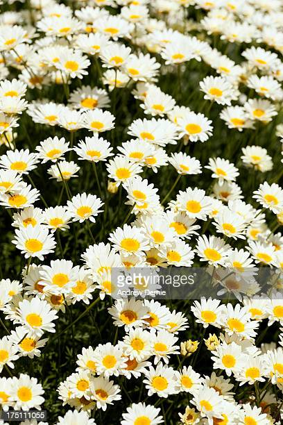daisies - andrew dernie stock pictures, royalty-free photos & images