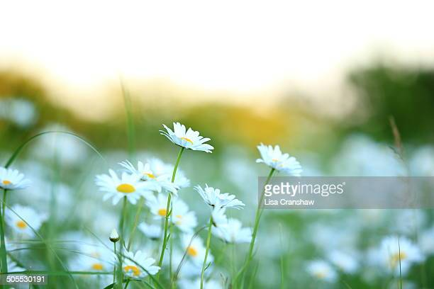 daisies - lisa cranshaw stock pictures, royalty-free photos & images
