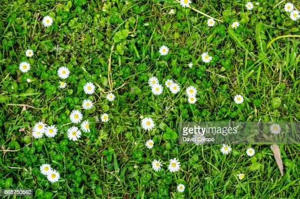 daisies - wildpflanze stock-fotos und bilder