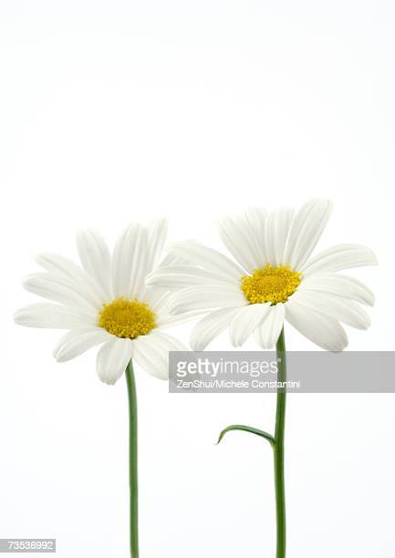 daisies - daisy stock pictures, royalty-free photos & images