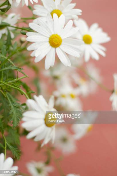 daisies - chamomile tea stock photos and pictures