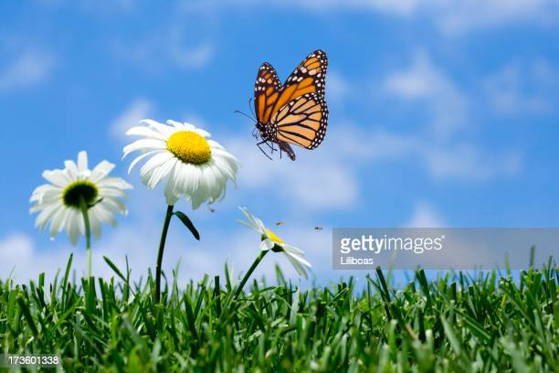 daisy & butterfly - marguerite daisy stock photos and pictures