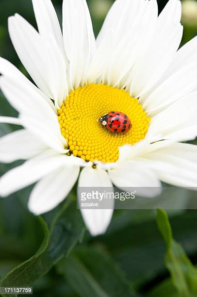 daisy and ladybug - spotless nine spotted ladybug stock pictures, royalty-free photos & images