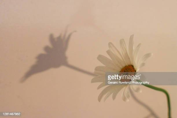 daisy art photograph - love magazine stock pictures, royalty-free photos & images
