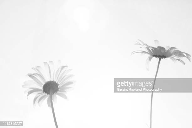 daisy art - black and white instant print stock pictures, royalty-free photos & images