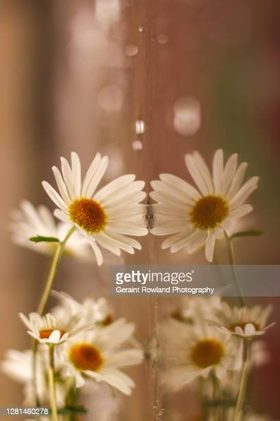 daisy art - love magazine stock pictures, royalty-free photos & images
