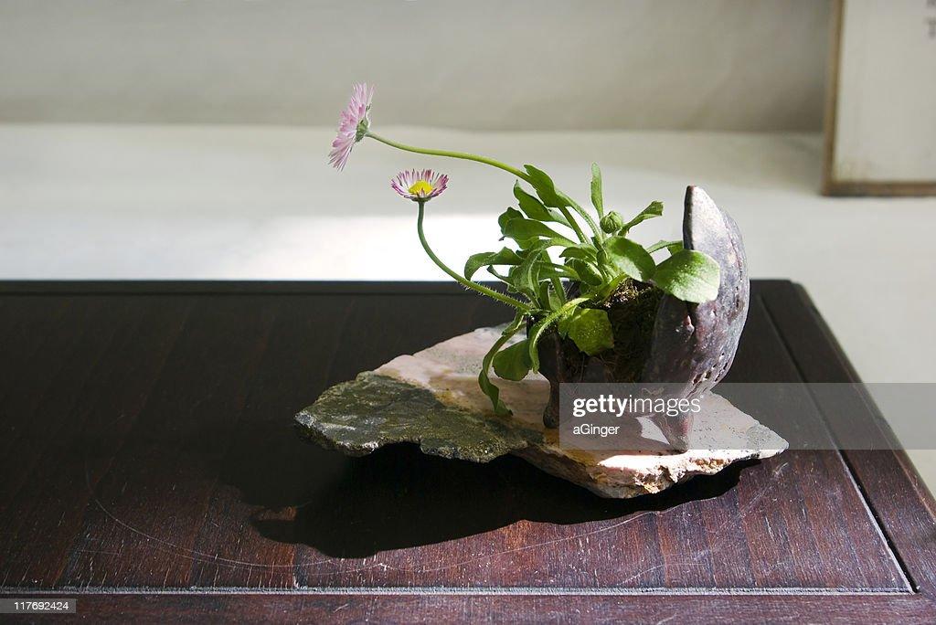Daisy bonsai : ストックフォト