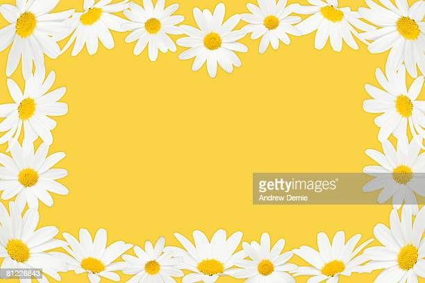 daisy border. background colour  - andrew dernie stock-fotos und bilder