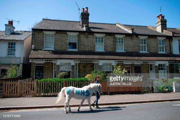 Daisy Cinque from Park Lane Stables takes Welsh mountain pony Annie's Wizz for a walk along a residential street in Twickenham south west London on...