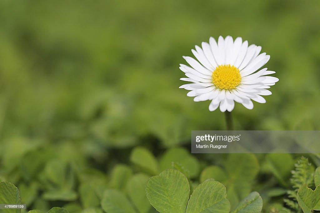 Daisy (Bellis perennis), close up : Stock Photo