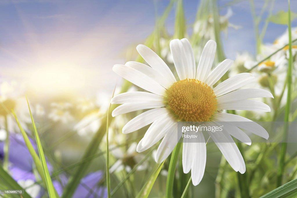 Daisy Close-Up In Sunlight : Stock Photo