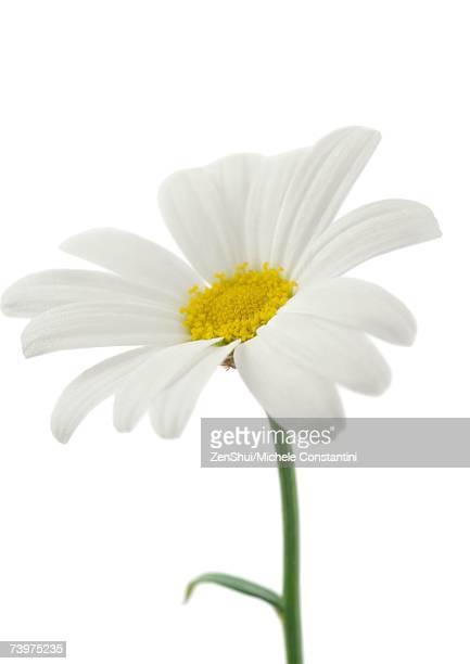 daisy, close-up - tallo fotografías e imágenes de stock
