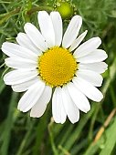 daisy full glory