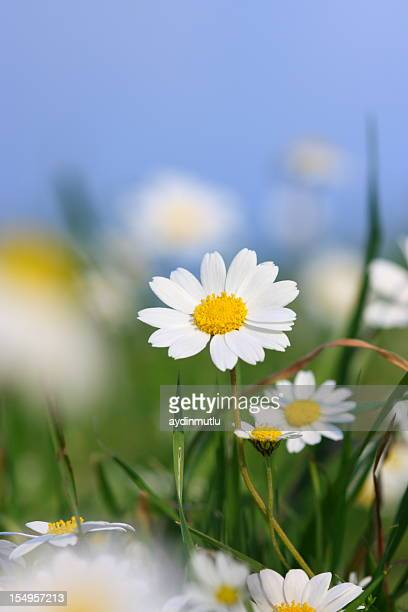 daisy field - marguerite daisy stock photos and pictures