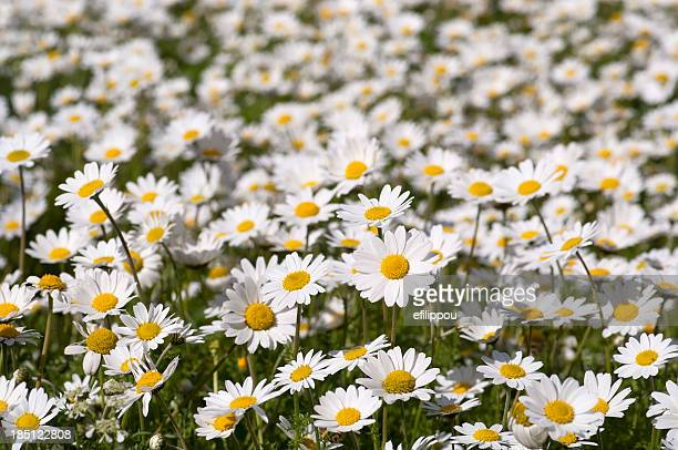 daisy field - month stock pictures, royalty-free photos & images