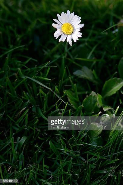 Daisy flower among grass England