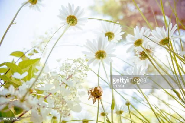 daisy flower background - chamomile tea stock photos and pictures