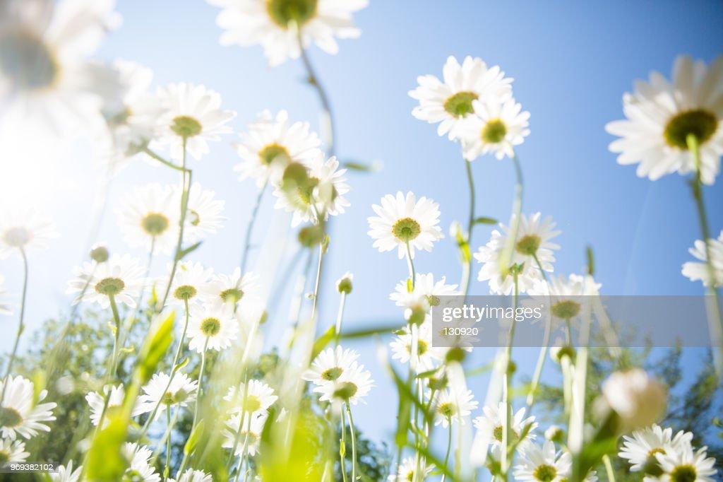 daisy flower background : Stock Photo