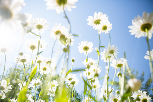 daisy flower background - gettyimageskorea