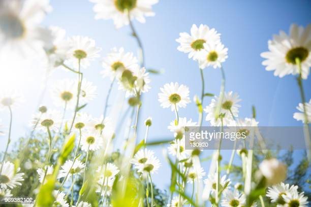 daisy flower background - jahreszeit stock-fotos und bilder