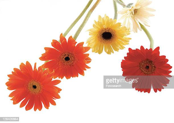 Daisy Flower, Gerbera Daisy, Vibrant Color, White Background, Close-Up