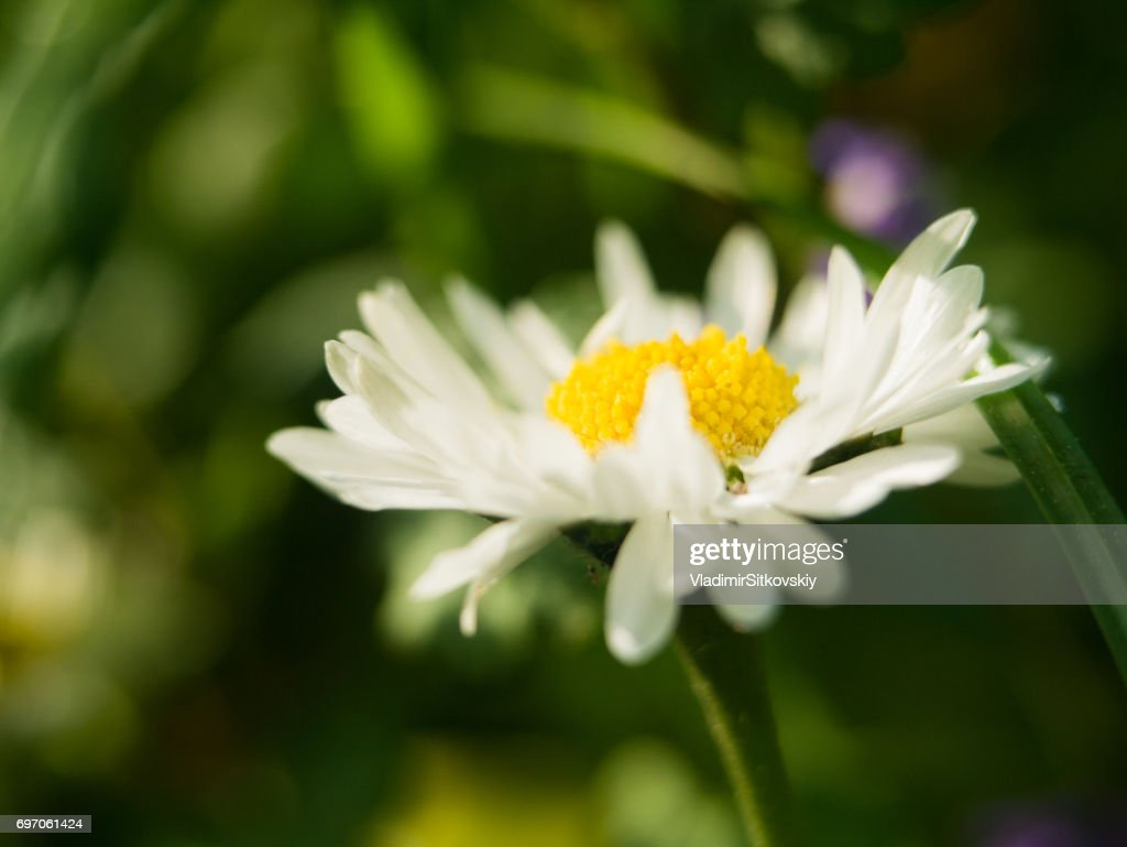 A Daisy Flower On A Green Background One Field Daisy In The Field Of