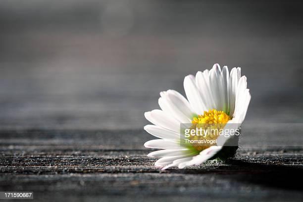 Margarita flores en la antigua mesa de madera-naturaleza Poem postal