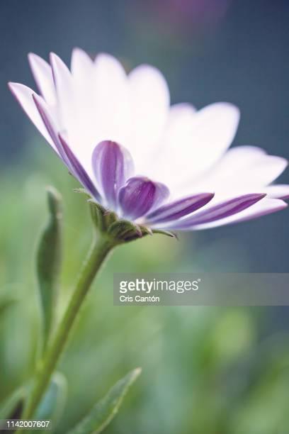 daisy flower - cris cantón photography fotografías e imágenes de stock
