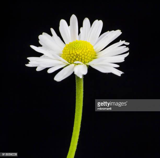 daisy flower - daisy stock pictures, royalty-free photos & images