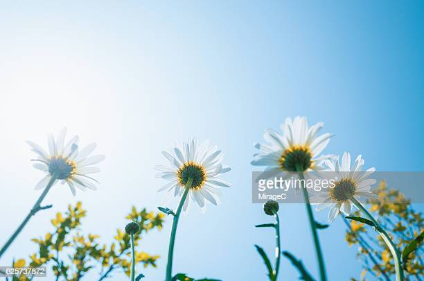 daisy flowers against sunny sky - marguerite daisy stock photos and pictures