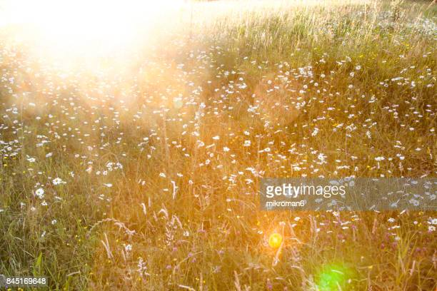 daisy flowers against the light in the sunset light. sunset on meadow - colour manipulation stock pictures, royalty-free photos & images