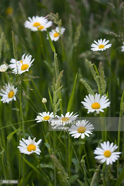 Daisy flowers amongst grass Oxfordshire United Kingdom