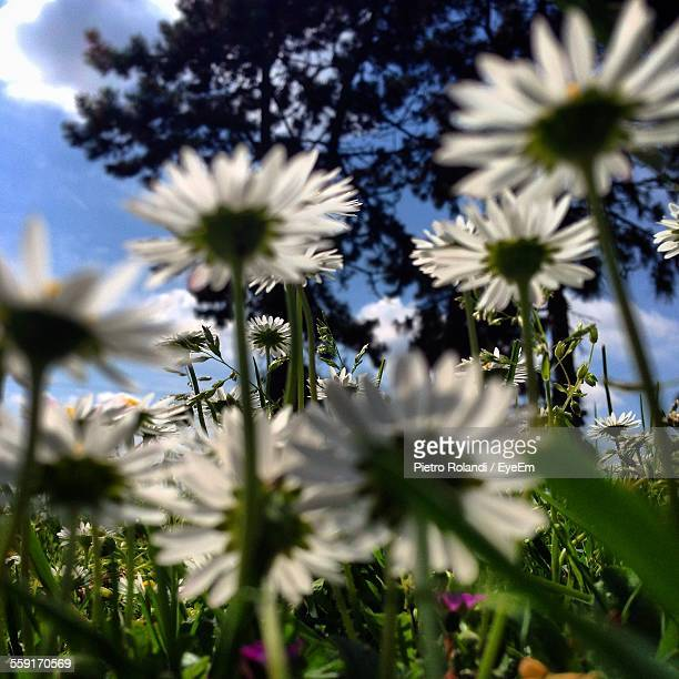 Daisy Flowers Blooming On Field