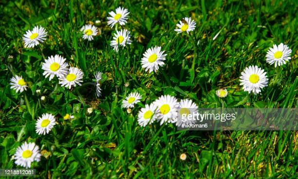 daisy flowers in a garden - lawn stock pictures, royalty-free photos & images