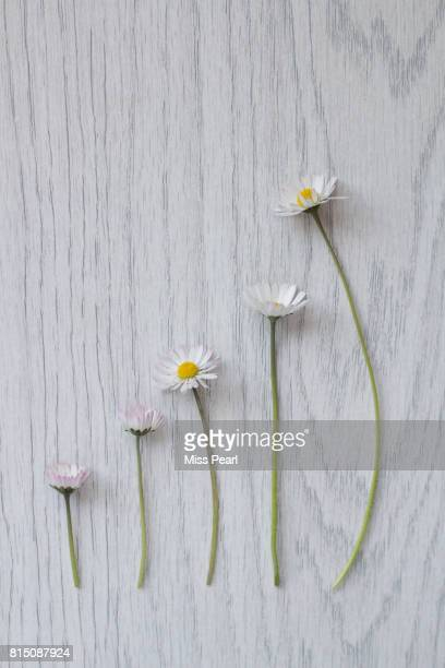 Daisy flowers in growth graph on table top