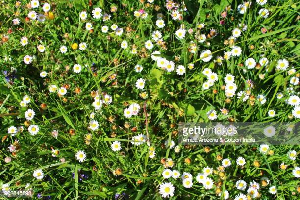 Daisy flowers in spring