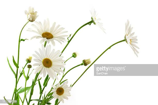 daisy flowers - marguerite daisy stock photos and pictures