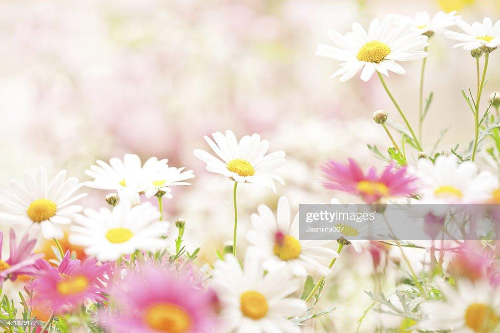 デイジーの花 : ストックフォト