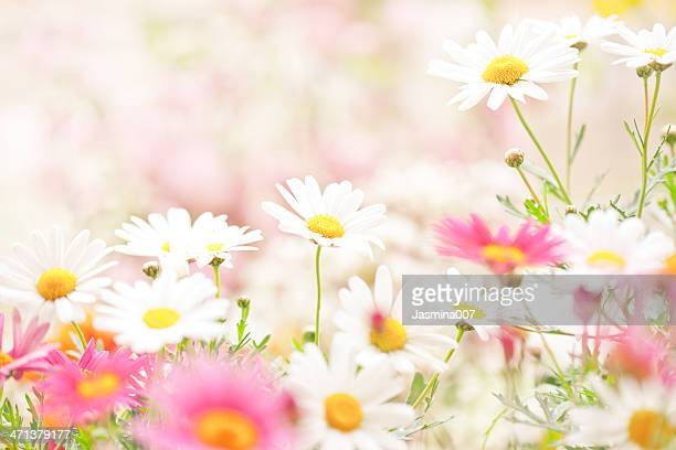 daisy flowers - daisy stock pictures, royalty-free photos & images