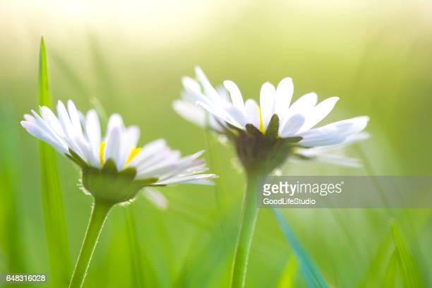 Gänseblümchen-Blumen