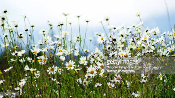 daisy flowers - gregoria gregoriou crowe fine art and creative photography. stockfoto's en -beelden