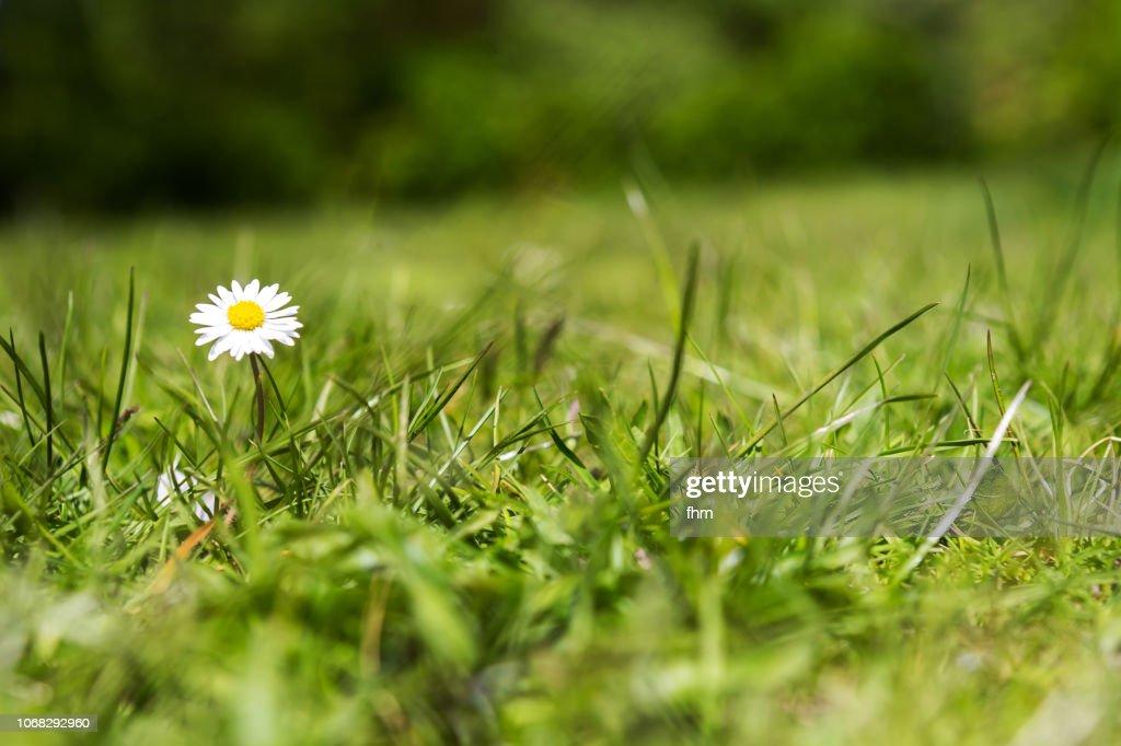 Daisy in a lawn : Stock-Foto
