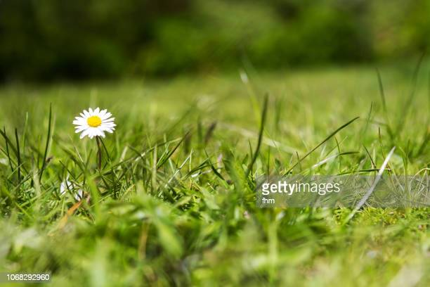 daisy in a lawn - grass stock pictures, royalty-free photos & images