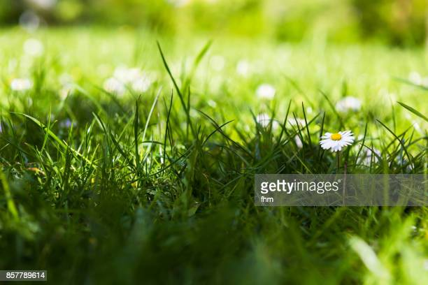 a daisy in a lawn - pelouse photos et images de collection