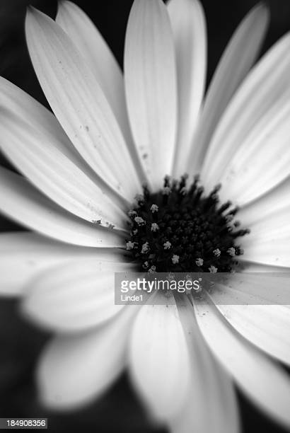 daisy in black and white - gerbera stock pictures, royalty-free photos & images