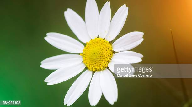 Daisy in bloom