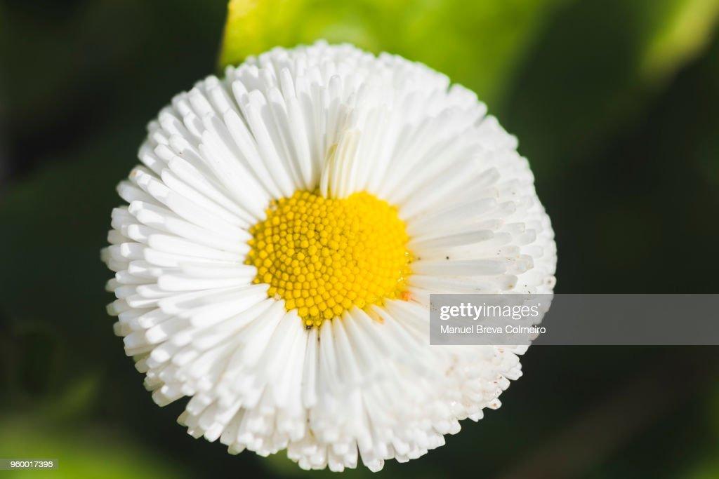 Daisy in bloom : Stock-Foto