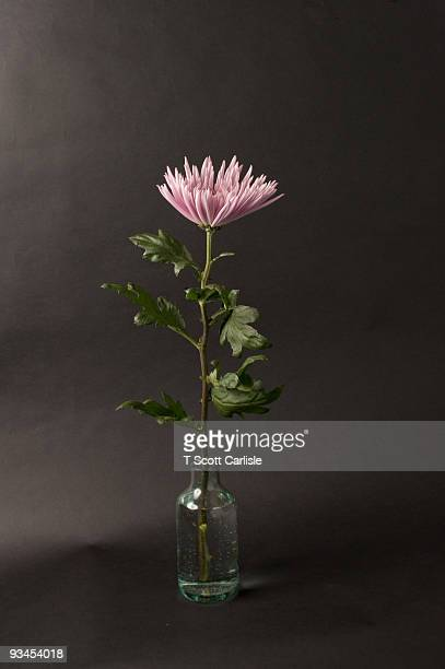 daisy in glass bottle. long stem - long stem flowers stock pictures, royalty-free photos & images