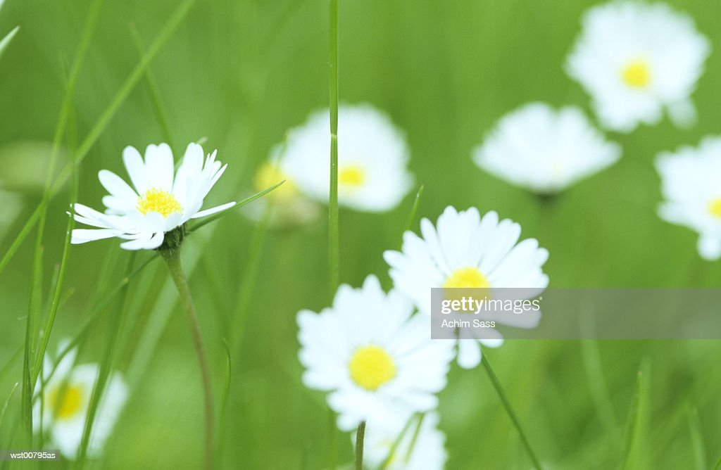 Daisy in meadow : Stock Photo