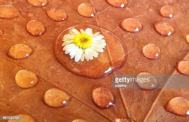 Daisy in raindrop